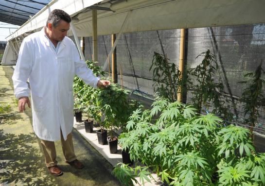 marijuana-coltivazione