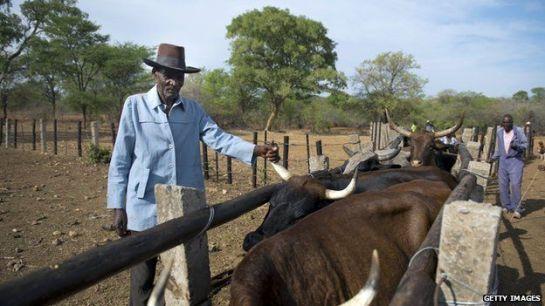 _82310136_zimbabwe_cattle_g